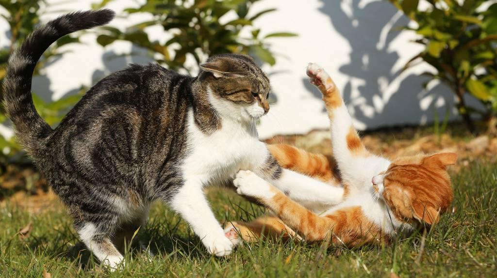 Кошки дерутся, фото, причины, действия хозяина если кошки дерутся