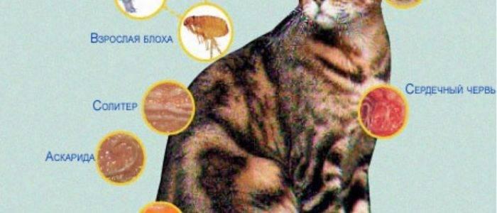 Глисты у кошек (гельминтозы)