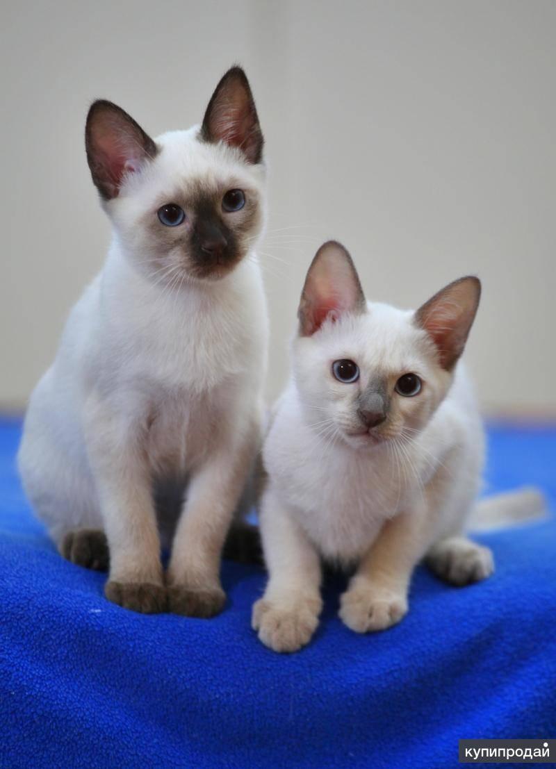 Тайская кошка цена. цены на котят породы  тайская кошка: в россии, украине, в москве