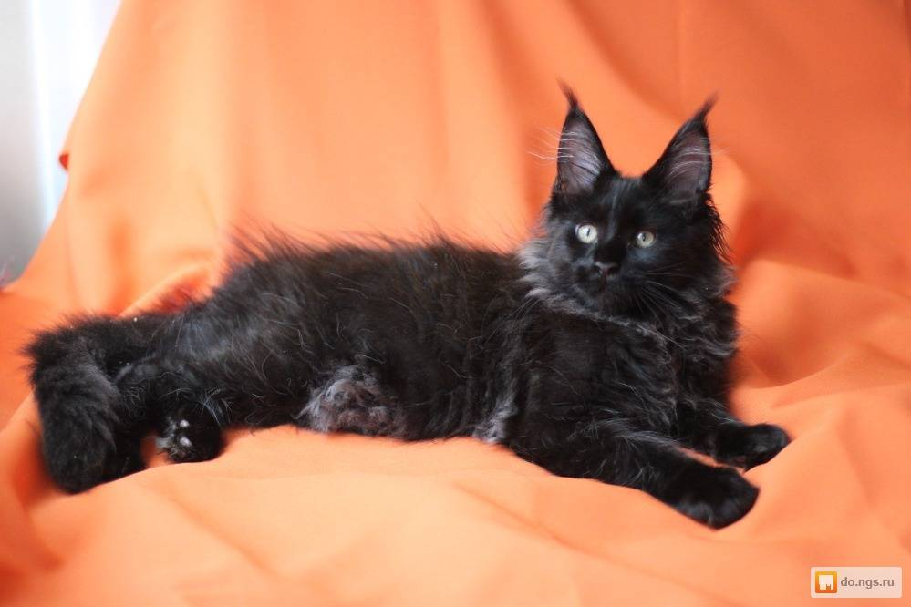 Черный мейн-кун: описание, разновидности окраса, особенности ухода и содержания, как назвать черного котенка мейн-куна