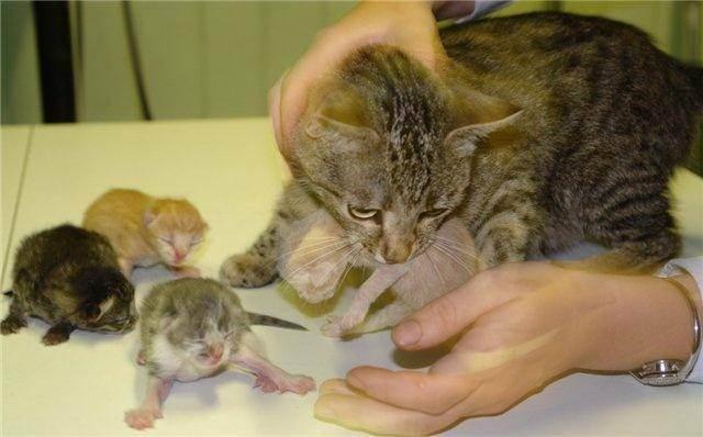 Нелегкая роль мамы или поведение кошки после родов