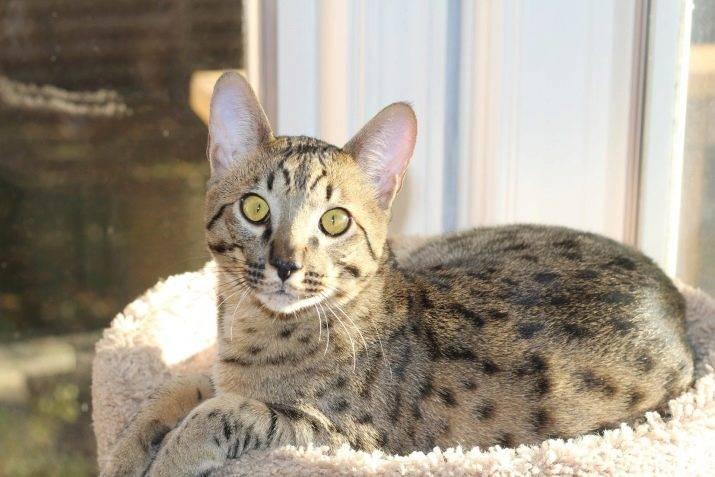 Большие, верные и умные кошки: все самое интересное о породе саванна