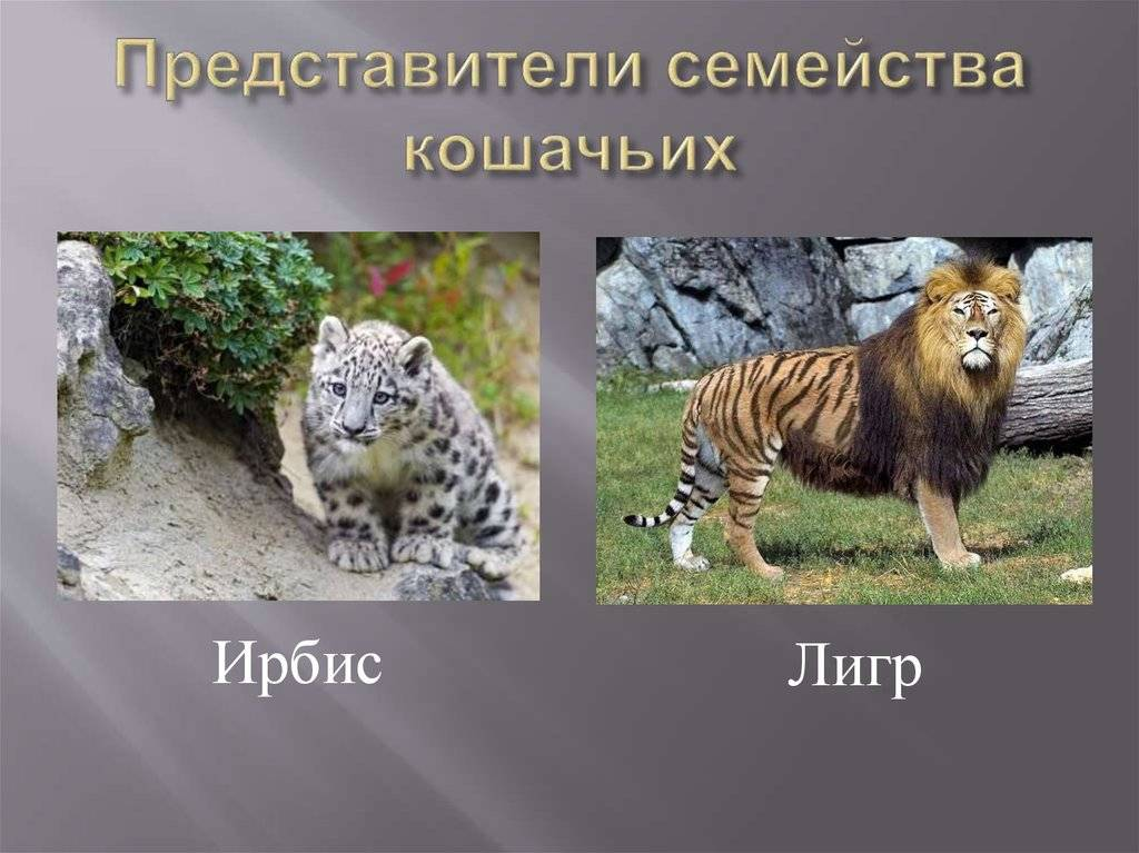 Дикие кошки: разновидности кошачьих в природе