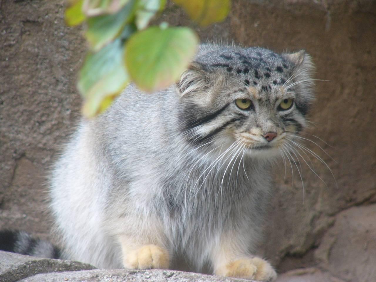 Манул — кот из красной книги