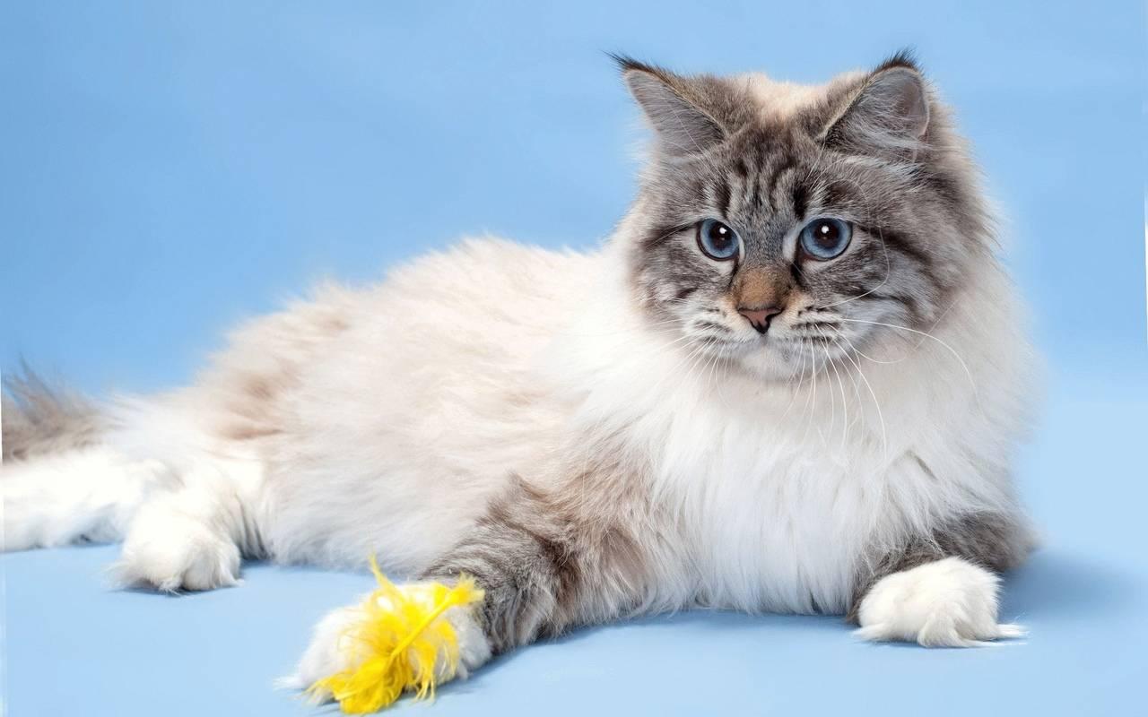 Невская маскарадная кошка: описание породы, характер, вязка, фото