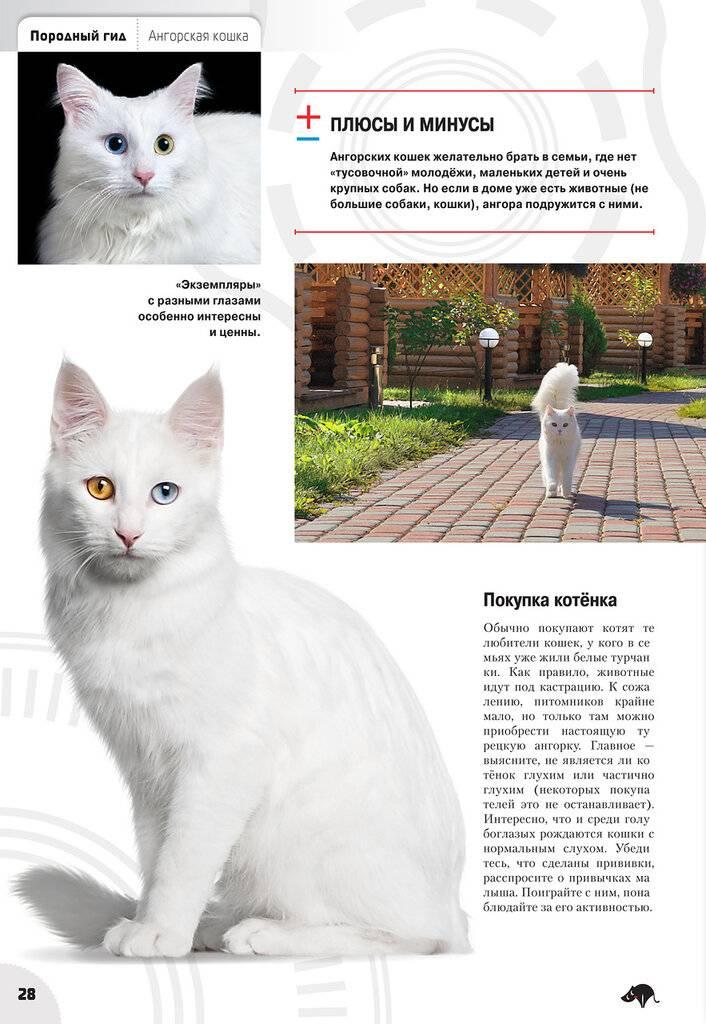 Ангорская кошка (ангора турецкая) – характер, фото и описание породы