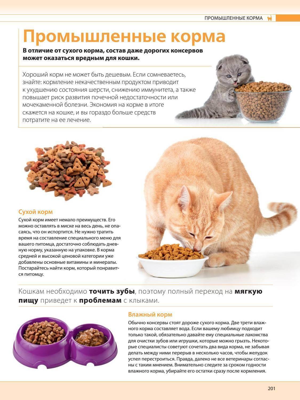 Чем кормить британского котенка в домашних условиях: какое питание лучше выбрать