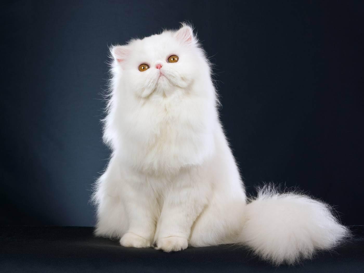 Трехцветная кошка: фото и описание пушистых и гладкошерстных питомиц разных пород