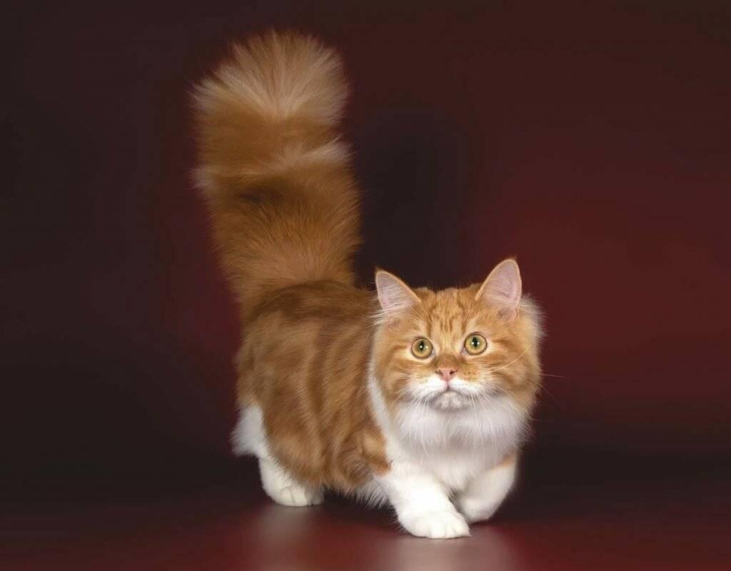 Манчкин — кошка с короткими лапами