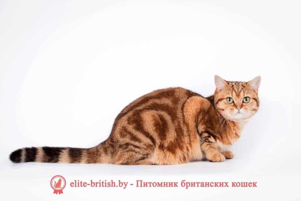 Классификация окрасов кошек, окрасы британских кошек фото, кошки sfs, порода bri ns 11, ns 12 | кошки - кто они?