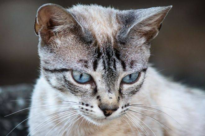 Охос азулес: фото кошки, цена, описание породы, характер, видео, питомники