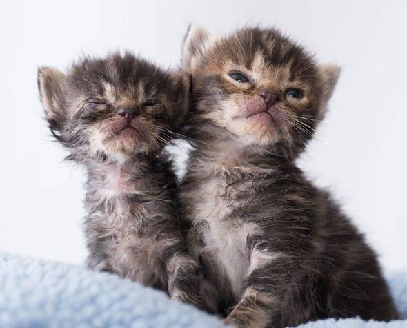 Когда открывают глаза котята, через сколько дней после рождения они начинают видеть?
