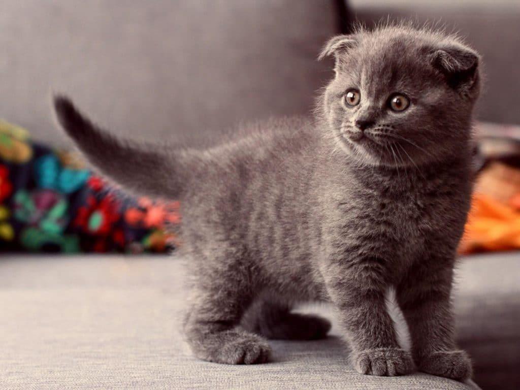 Выбираем корм для шотландских вислоухих кошек