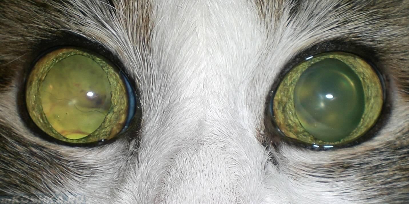 Расширенные зрачки у кошки: причины, возможные заболевания, способы лечения, советы ветеринаров