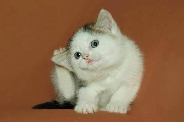 Если кошка трясет ушами. котенок чешет ухо с внешней стороны, можно ли маслом закапать и народными средствами. обследование в клинике