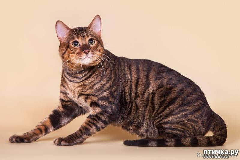 Тигровые кошки (25 фото): описание пород котов тигрового окраса. содержание домашних котят, похожих на тигрят