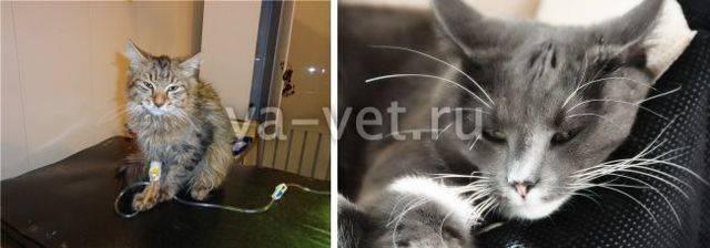 Гемобартонеллез у кошек — симптомы и лечение