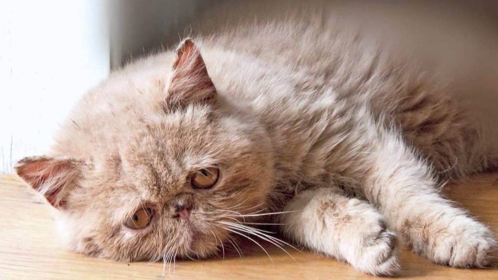 Стригущий лишай кошек: диагноз, лечение, симптомы, как выглядит | ветеринарная служба владимирской области