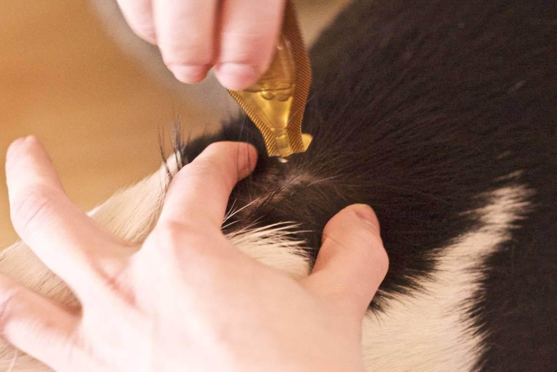 Демодекоз у кошки – чем может быть опасно заболевание?