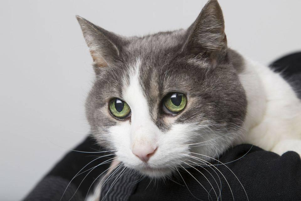 Что делать с гиперактивным котом, какое успокоительное можно дать слишком активному котенку в 2–3 месяца?
