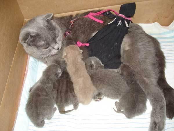 Течка у британских кошек - длительность, признаки, решения - котешка.ру