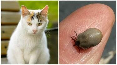 Что делать, если кота укусил клещ?