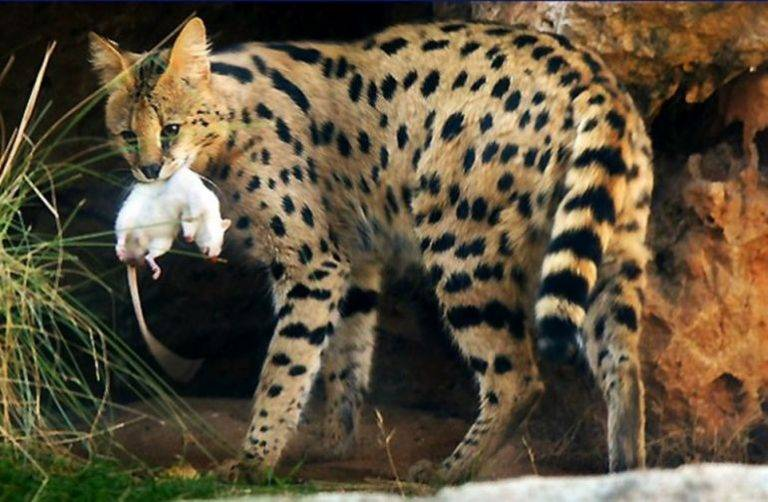 Сервал (кустарниковая кошка) - характер породы, фото, цены