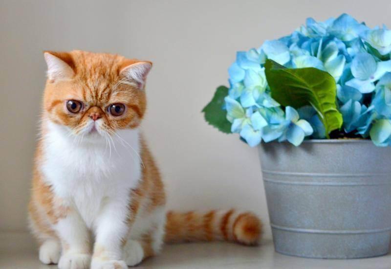 Почему шотландский и британский кот сопит и храпит во сне? почему кот или кошка сопит носом при дыхании нормально ли что кот храпит.