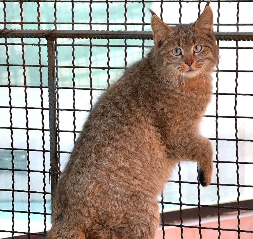 Китайская кошка: история происхождения породы ли хуа мао, характер и инстинкты питомца