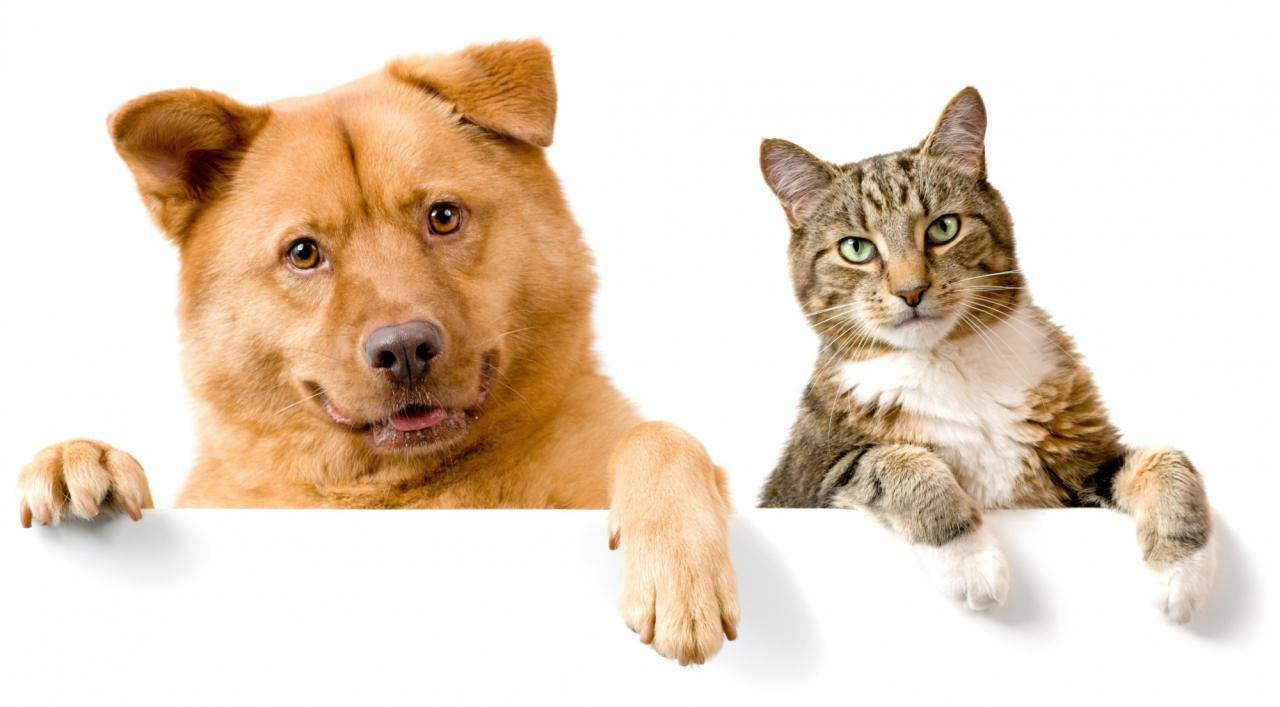 Вареное или сырое мясо давать кошке?