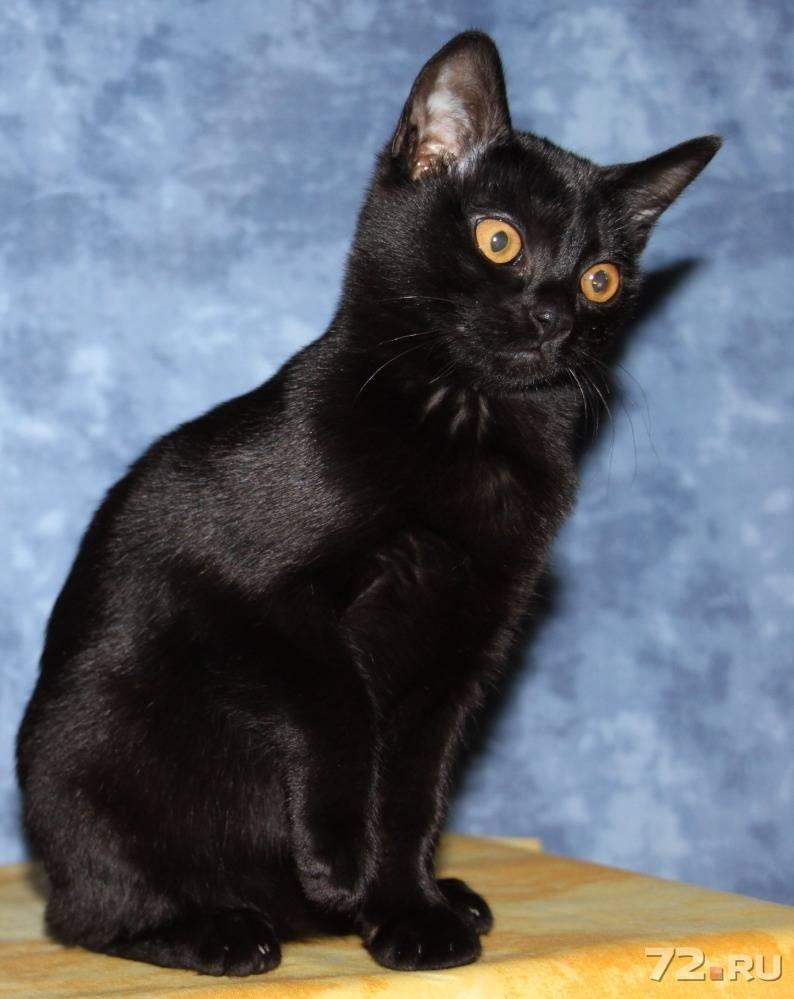 Игривые, ласковые и умные: знакомимся с бомбейскими кошками