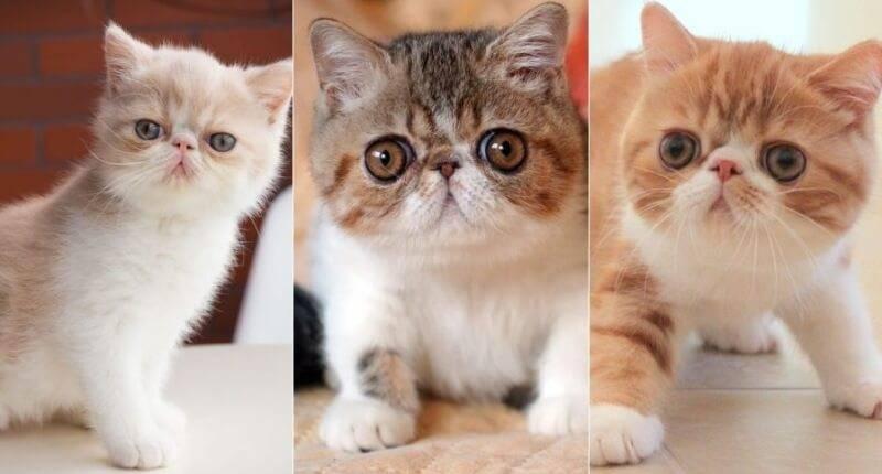 Экзотическая короткошерстная кошка: фото, описание, характер, содержание, отзывы