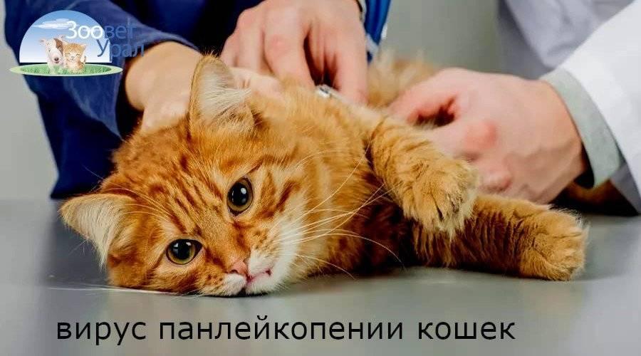 Панлейкопения у кошек: формы заболевания, пути передачи, симптомы, инкубационный период, лечение, возможные осложнения, профилактика