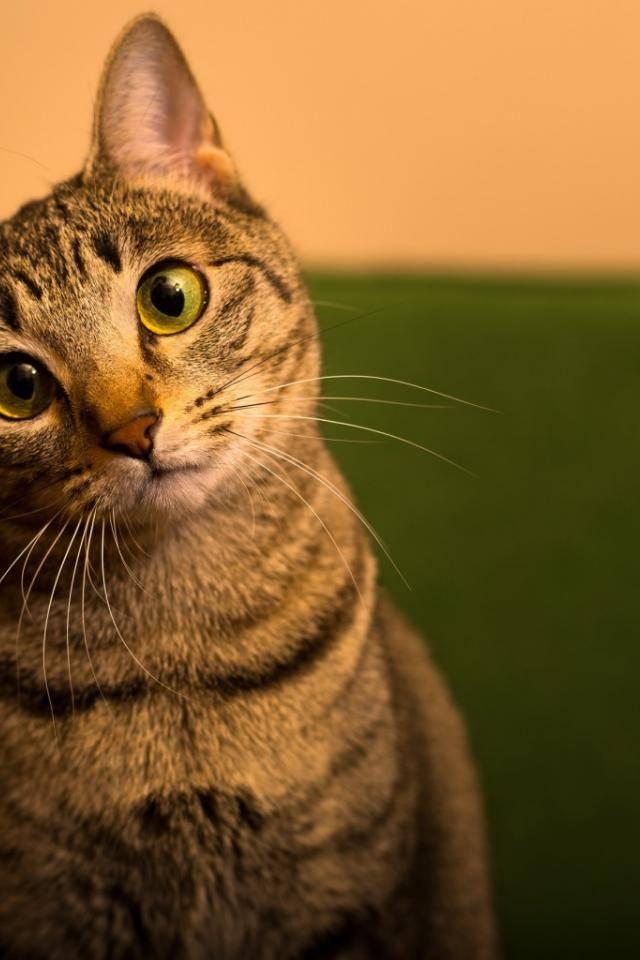 Порода кошек с косыми глазами
