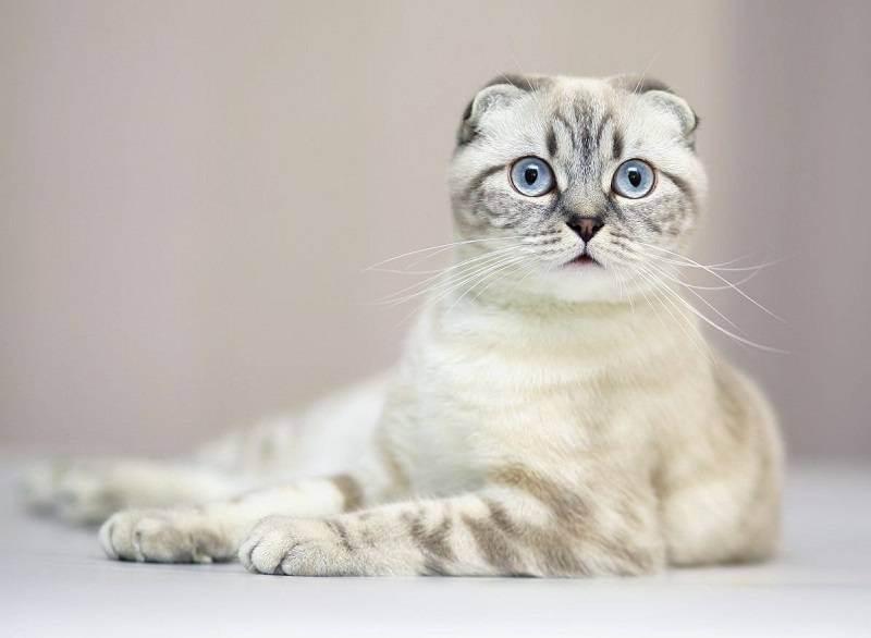 Новорожденные вислоухие котята