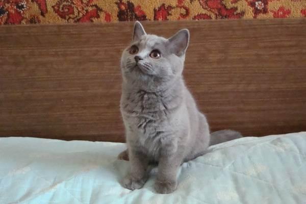 Оптимальный вес британского котенка по месяцам