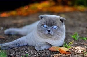 Шотландская вислоухая. о породе кошек: описание породы шотландская вислоухая, цены, фото, уход