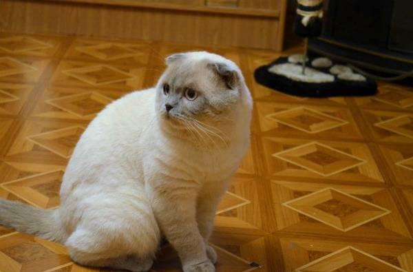 Фото сиамской вислоухой кошки