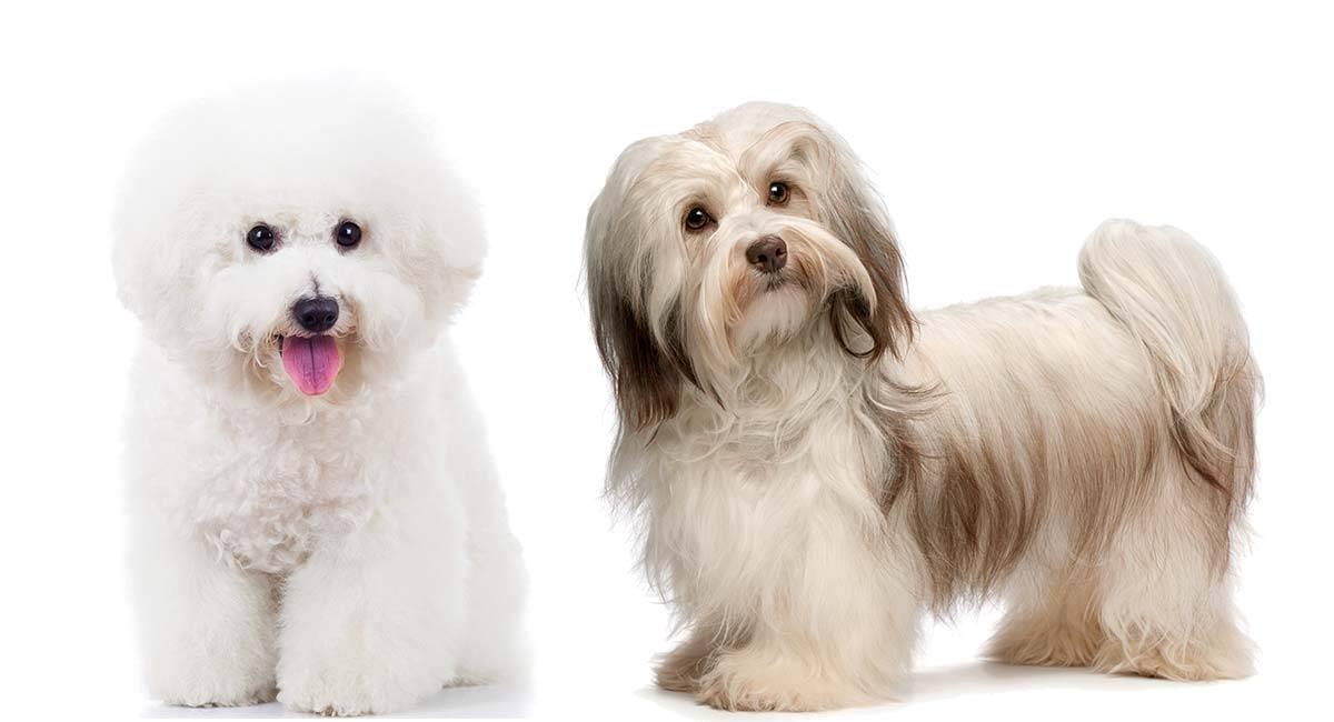 Гаванские бишоны: описание породы собак, фото, отзывы владельцев