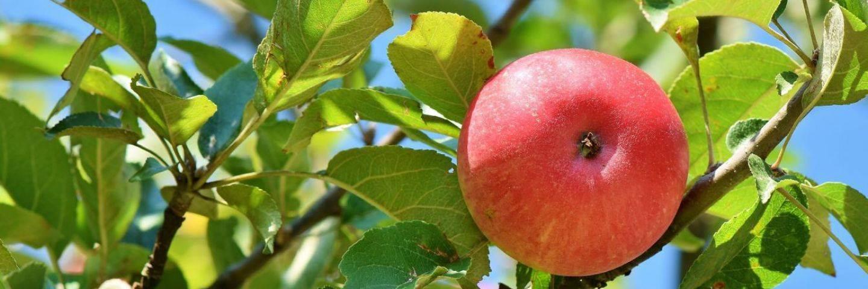 Яблоки для собак: польза или вред
