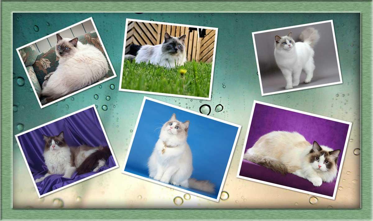 Рэгдолл: особенности характера и правила выбора породистого котенка (100 фото и видео)