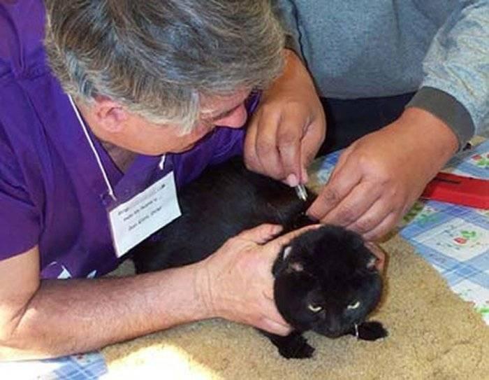 Чипирование кошек в москве. стоимость чипирования кошек на дому