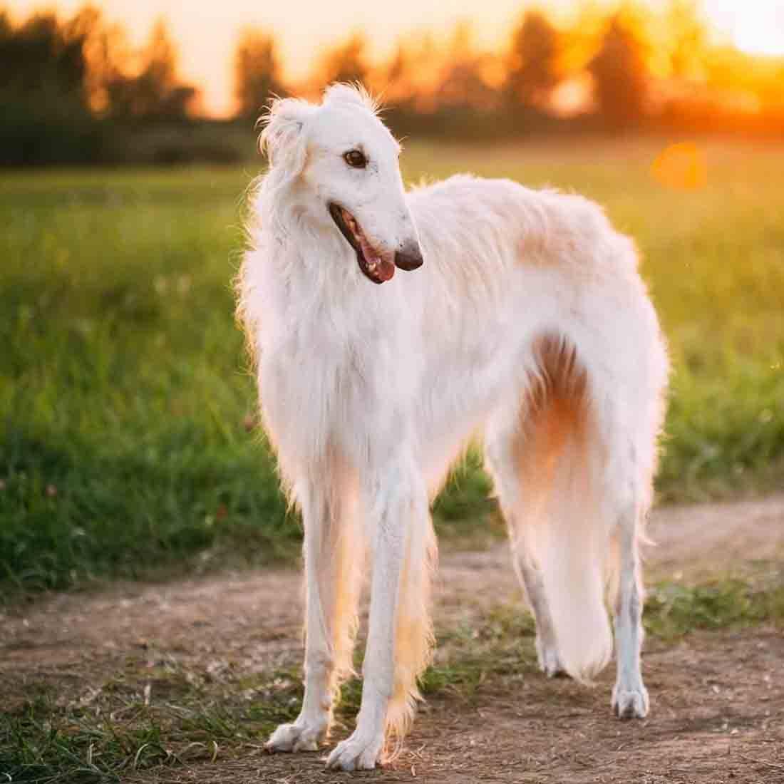Русская псовая борзая фото, описание породы, характер, отзывы, видео, болезни