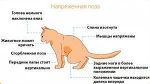 Кровь в моче у кота: в чем причина ее появления