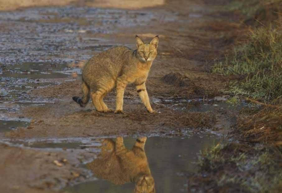 Камышовая кошка (кот) — описание породы