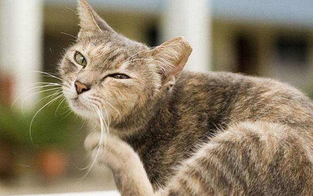 Атаксия – нарушение координации движений у кошек