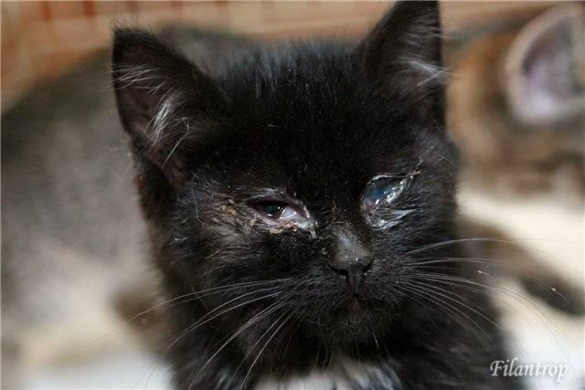 Симптомы и лечение ринотрахеита у котят и взрослых кошек
