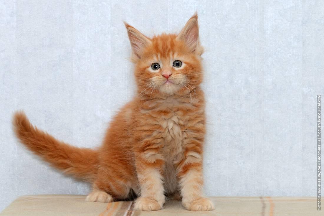 Мейн-кун цена. цены на котят породы мейн-кун: в россии, украине, в москве