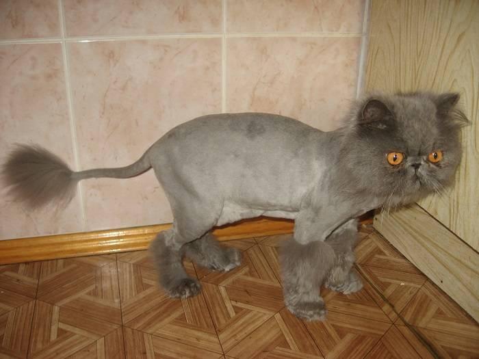 Как назвать шотландскую кошку, кота и котенка
