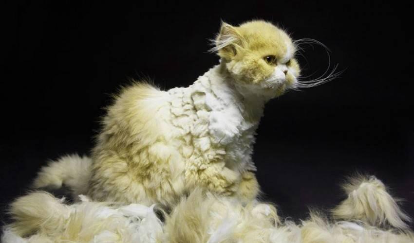 Колтуны у кошки: причины, как избавиться в домашних условиях колтуны у кошки: причины, как избавиться в домашних условиях